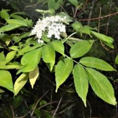 Sambucus australasica (Native Elder) at Cambewarra Range Nature Reserve - 27 Oct 2020 by plants