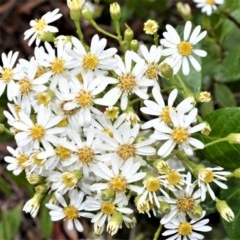 Unidentified Daisy (TBC) at Wingecarribee Local Government Area - 27 Oct 2020 by plants