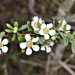 Leptospermum trinervium (Paperbark Teatree) at Wingecarribee Local Government Area - 27 Oct 2020 by plants