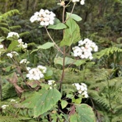 Ageratina adenophora (Crofton Weed) at Mount Murray - 26 Oct 2020 by plants