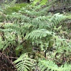 Hypolepis glandulifera (Sticky Ground Fern) at Macquarie Pass National Park - 26 Oct 2020 by plants