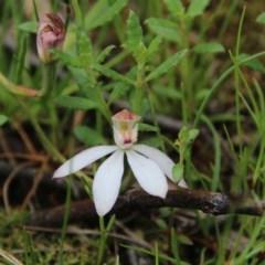 Caladenia moschata (Musky caps) at Mount Majura - 27 Oct 2020 by petersan