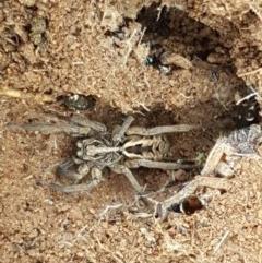 Tasmanicosa sp. (genus) (Unidentified Tasmanicosa wolf spider) at Ginninderry Conservation Corridor - 27 Oct 2020 by tpreston