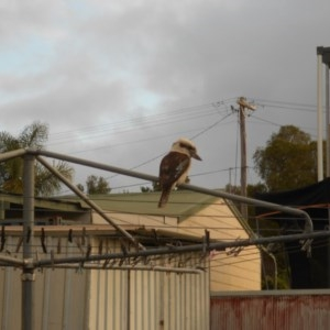 Dacelo novaeguineae at Basin View, NSW - 27 Oct 2020