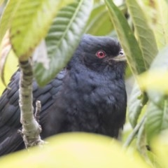 Eudynamys orientalis (Eastern Koel) at Higgins, ACT - 25 Oct 2020 by Alison Milton