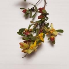 Hibbertia obtusifolia (Grey Guinea-flower) at Oakey Hill - 27 Oct 2020 by John.Butcher