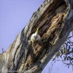 Cacatua galerita (Sulphur-crested Cockatoo) at Red Hill Nature Reserve - 10 Oct 2020 by BIrdsinCanberra