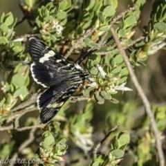 Phalaenoides glycinae (Grapevine Moth) at Hughes, ACT - 10 Oct 2020 by BIrdsinCanberra