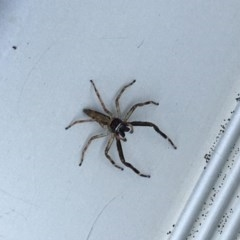 Helpis minitabunda (Jumping spider) at Lyneham, ACT - 18 Oct 2020 by Ned_Johnston