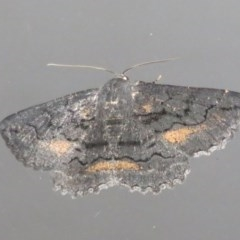 Melanodes anthracitaria (Black Geometrid) at Flynn, ACT - 24 Oct 2020 by Christine
