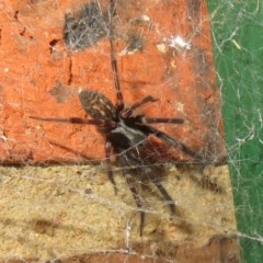 Badumna insignis (Black House Spider) at Flynn, ACT - 24 Oct 2020 by Christine