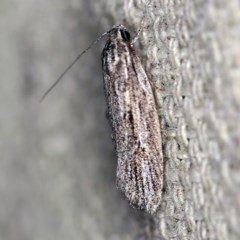 Agriophara (genus) (A concealer moth) at O'Connor, ACT - 4 Oct 2020 by ibaird
