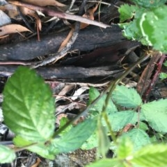 Rubus anglocandicans (Blackberry) at Hughes Garran Woodland - 27 Oct 2020 by Tapirlord