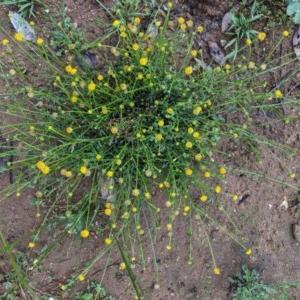 Calotis lappulacea at Hughes Grassy Woodland - 27 Oct 2020
