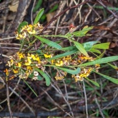 Daviesia mimosoides (Bitter Pea) at Hughes Grassy Woodland - 27 Oct 2020 by JackyF