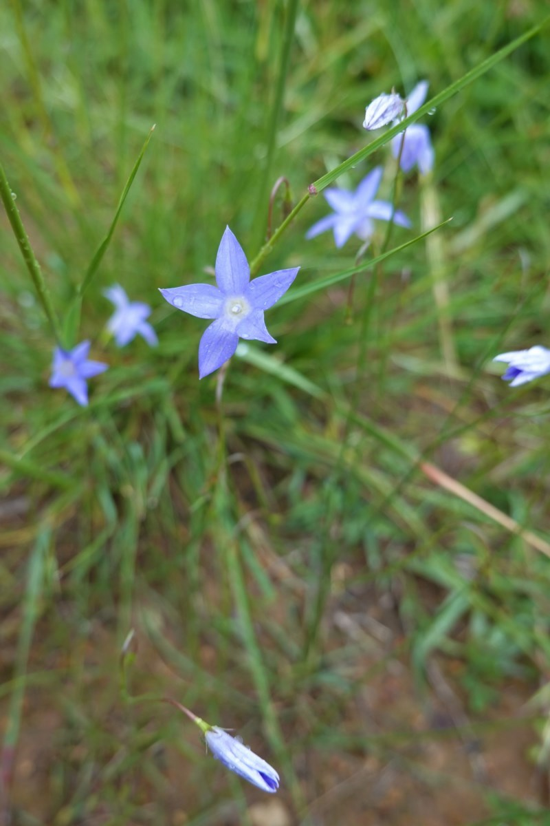 Wahlenbergia sp. at Deakin, ACT - 27 Oct 2020