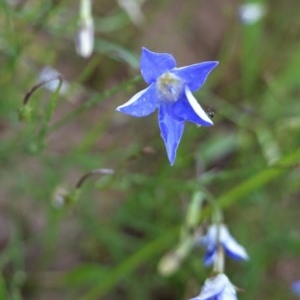 Wahlenbergia luteola at Deakin, ACT - 27 Oct 2020