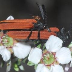 Porrostoma sp. (genus) (Lycid beetle, Net-winged beetle) at Aranda Bushland - 23 Oct 2020 by Harrisi