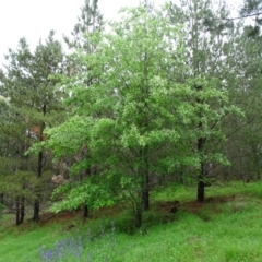 Prunus serotina (Black Cherry) at Isaacs Ridge and Nearby - 24 Oct 2020 by Mike
