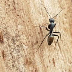 Camponotus aeneopilosus (A Golden-tailed sugar ant) at City Renewal Authority Area - 27 Oct 2020 by tpreston