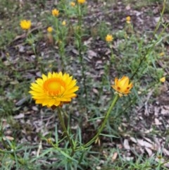 Xerochrysum viscosum (Sticky everlasting) at Stirling Park - 27 Oct 2020 by Ratcliffe
