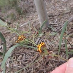Daviesia leptophylla at Crace, ACT - 5 Oct 2020