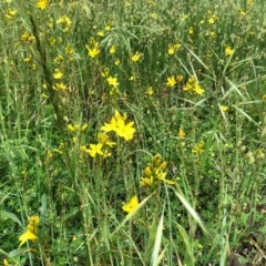 Bulbine bulbosa (Golden Lily) at Stirling Park - 27 Oct 2020 by Ratcliffe