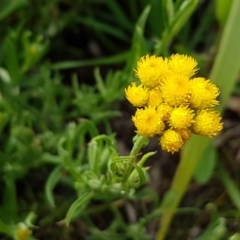 Chrysocephalum apiculatum (Common Everlasting) at City Renewal Authority Area - 27 Oct 2020 by tpreston