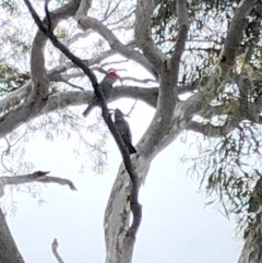 Callocephalon fimbriatum (Gang-gang Cockatoo) at Stirling Park - 27 Oct 2020 by Ratcliffe