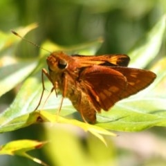 Cephrenes augiades (Orange Palm-dart) at Ulladulla, NSW - 28 Oct 2020 by CBrandis