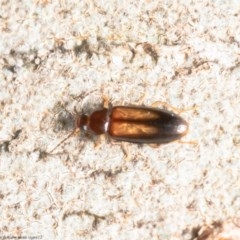 Hemicistela discoidalis (Comb-clawed beetle) at ANBG - 27 Oct 2020 by Roger