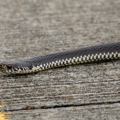 Austrelaps ramsayi (Highlands Copperhead) at Burradoo, NSW - 28 Oct 2020 by Snowflake