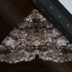 Cryphaea xylina at Ainslie, ACT - 27 Oct 2020