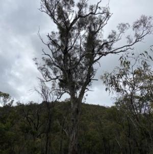 Eucalyptus melliodora at Mount Majura - 26 Oct 2020