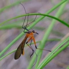 Harpobittacus australis (Hangingfly) at Piney Ridge - 28 Oct 2020 by Kurt