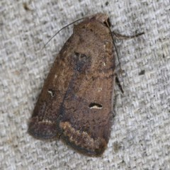Proteuxoa hypochalchis (An owlet moth) at O'Connor, ACT - 14 Oct 2020 by ibaird