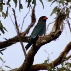 Eurystomus orientalis (Dollarbird) at Hughes, ACT - 28 Oct 2020 by LisaH