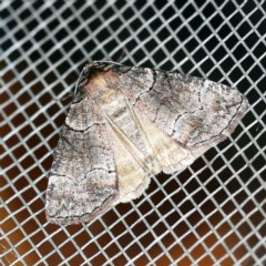 Dysbatus undescribed species (A Line-moth) at O'Connor, ACT - 18 Oct 2020 by ibaird