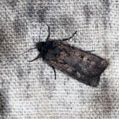 Agrotis infusa (Bogong Moth, Common Cutworm) at O'Connor, ACT - 18 Oct 2020 by ibaird