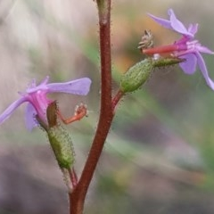 Stylidium graminifolium (Grass Triggerplant) at Mount Painter - 15 Oct 2020 by drakes