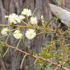 Acacia genistifolia (Early Wattle) at Mount Painter - 2 Sep 2020 by drakes
