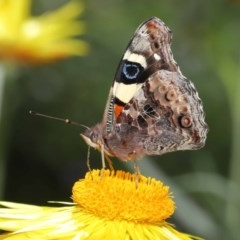Vanessa itea (Yellow Admiral) at ANBG - 28 Oct 2020 by TimL