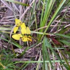 Diuris sulphurea (Tiger orchid) at - 27 Oct 2020 by KarenG