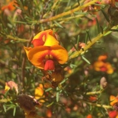 Dillwynia sp. at Wodonga - 29 Oct 2020 by Alburyconservationcompany