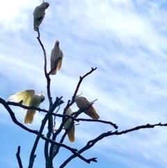Cacatua galerita (Sulphur-crested Cockatoo) at Gossan Hill - 28 Oct 2020 by goyenjudy