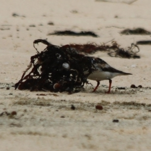 Arenaria interpres at Wairo Beach and Dolphin Point - 29 Oct 2020