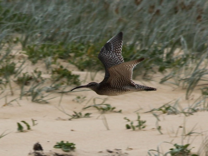 Numenius phaeopus at Wairo Beach and Dolphin Point - 29 Oct 2020