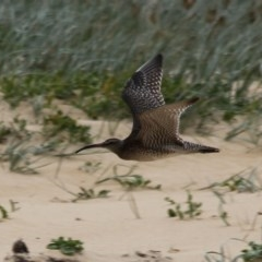 Numenius phaeopus (Whimbrel) at Wairo Beach and Dolphin Point - 29 Oct 2020 by CBrandis