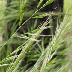 Bromus diandrus (Great Brome) at Bass Gardens Park, Griffith - 29 Oct 2020 by SRoss