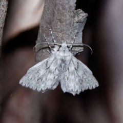 Cyneoterpna wilsoni (Cyneoterpna wilsoni) at Forde, ACT - 27 Oct 2020 by DPRees125
